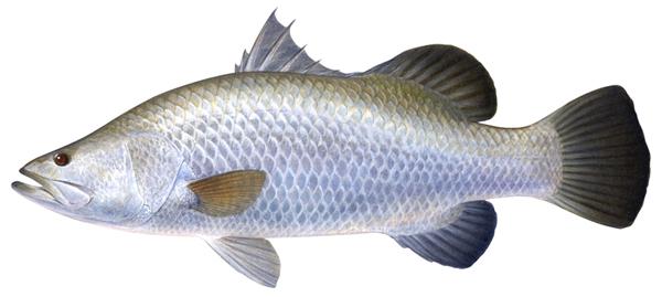 Bhetki fish