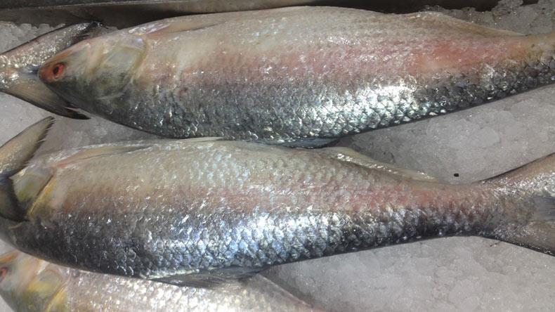 hilsha-fish